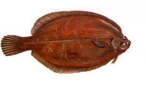 Lemon_Sole